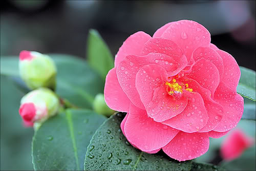 Hướng dẫn ghép hoa trà nở hoa tuyệt đẹp
