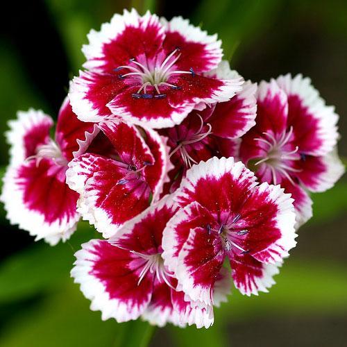 Sâu bệnh hại hoa cẩm chướng