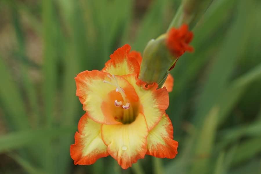 Sâu bệnh hại hoa Lay ơn và cách phòng trừ