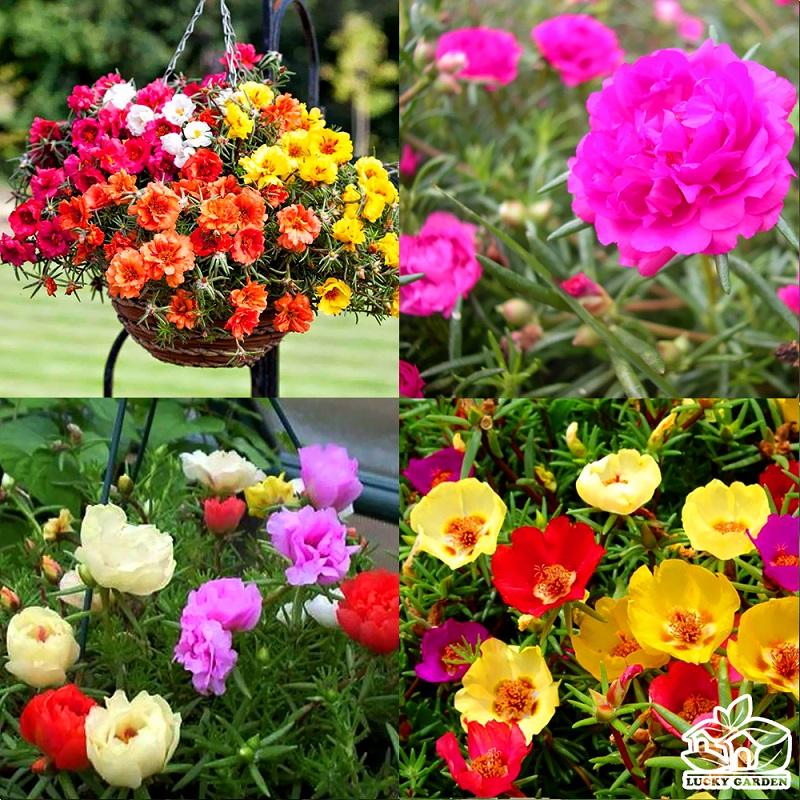 Hướng dẫn lai tạo màu hoa mười giờ tuyệt đẹp