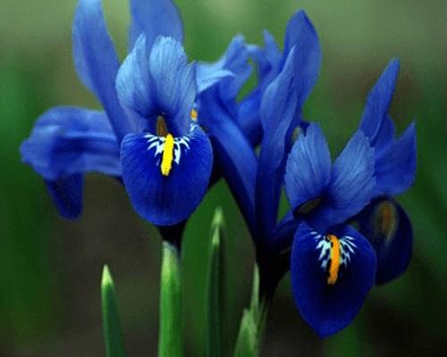 Hướng dẫn nhân giống hoa Diên vĩ tại nhà