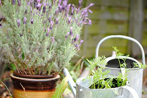 Kỹ thuật nhân giống hoa lavender từ hạt