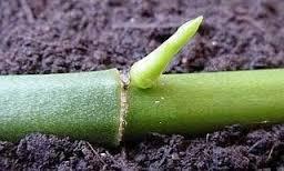 7 cách nhân giống Hoa phong lan