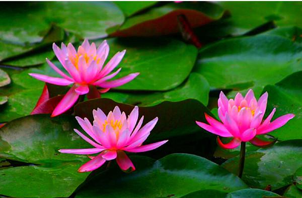 2 cách nhân giống hoa súng giúp hoa nở tuyệt đẹp