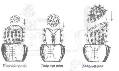4 kỹ thuật nhân giống Xương rồng bát tiên