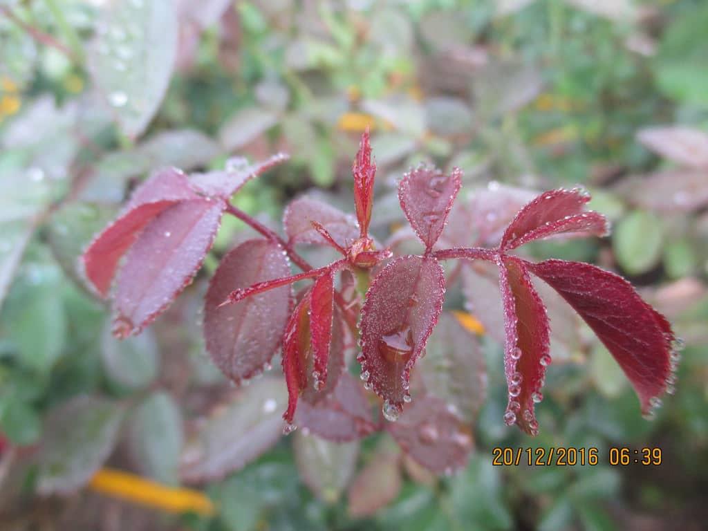 Phòng bệnh cho cây hoa hồng trong những ngày mưa