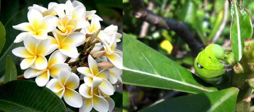 4 loại sâu bệnh hại trên cây Sứ đại và cách khắc phục
