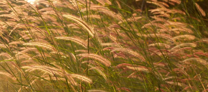 Những bài thơ hay về hoa cỏ may