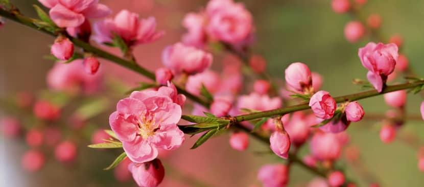 Ý nghĩa của hoa đào biểu tượng ngày xuân phương Bắc