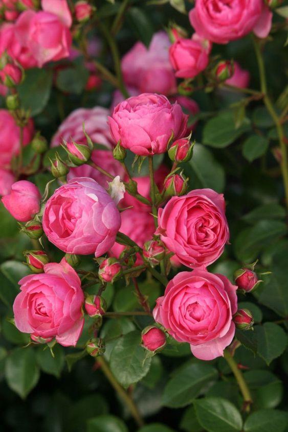 Khám phá vẻ đẹp của 7 loại hoa hồng leo quyến rũ