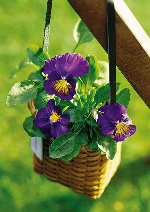 Bí quyết chăm sóc chậu hoa treo