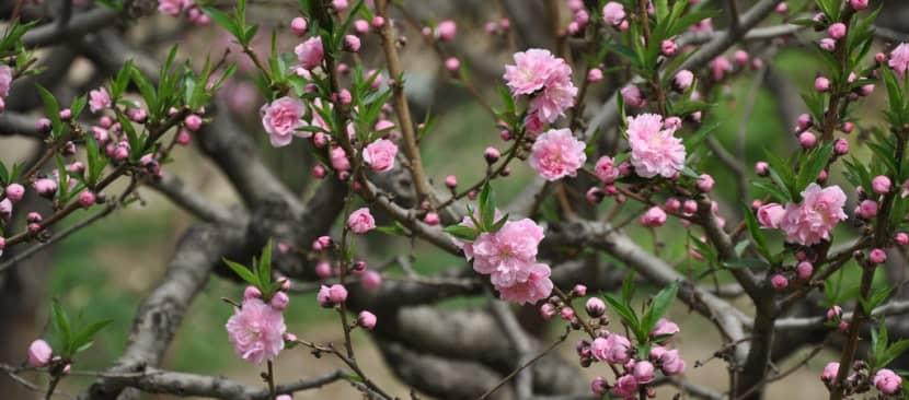 Những bài thơ về hoa đào
