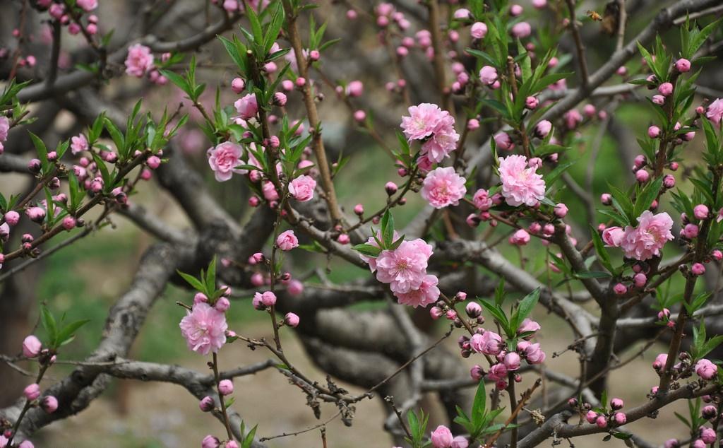 Những bài thơ hay về hoa đào ngày Tết rực rỡ sắc xuân - Trồng Hoa