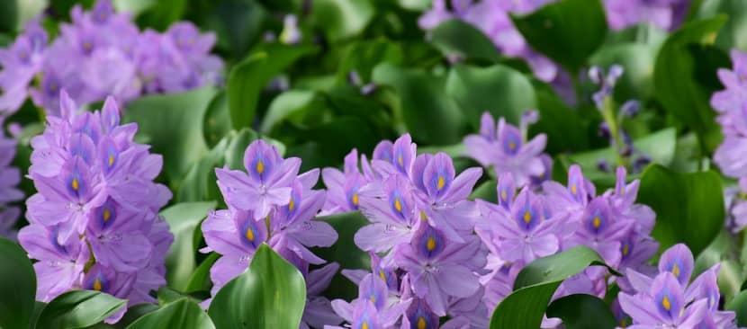 Chọn lọc thơ hay về hoa lục bình