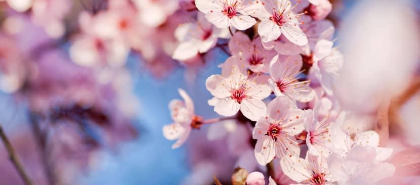 Ý nghĩa Hoa anh đào Biểu tượng quốc hoa của Nhật Bản