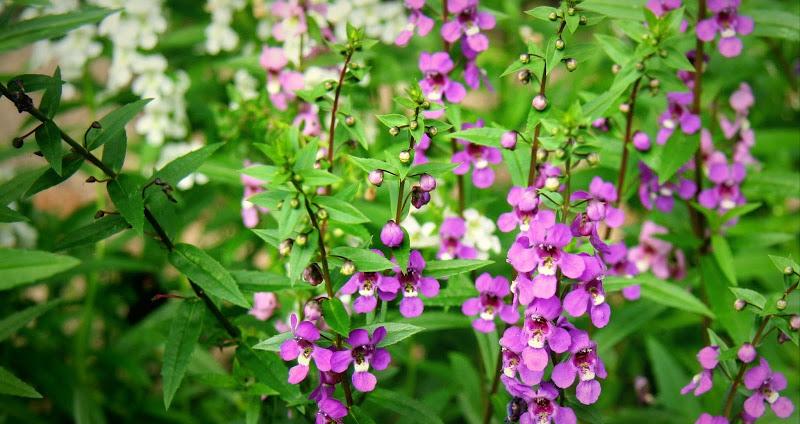 10 loại hoa ban công đẹp trồng mùa hè