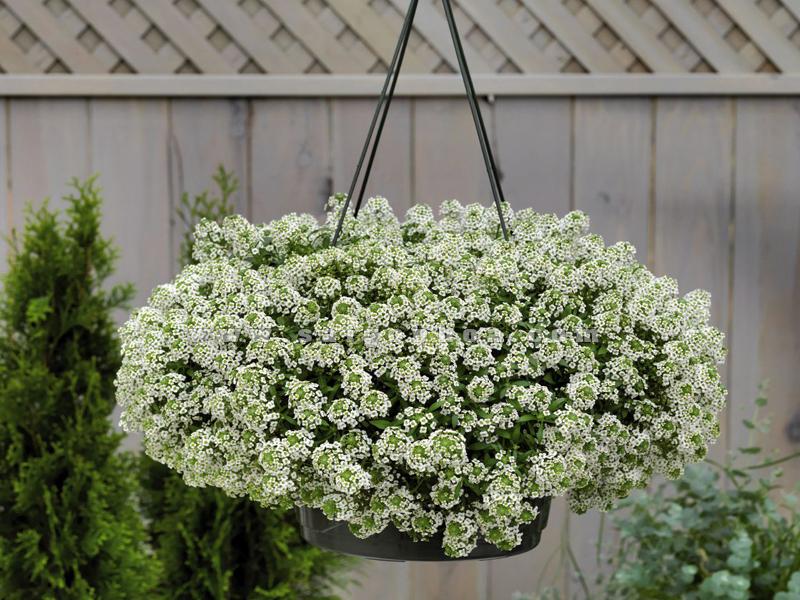 11 loại hoa treo chậu đẹp
