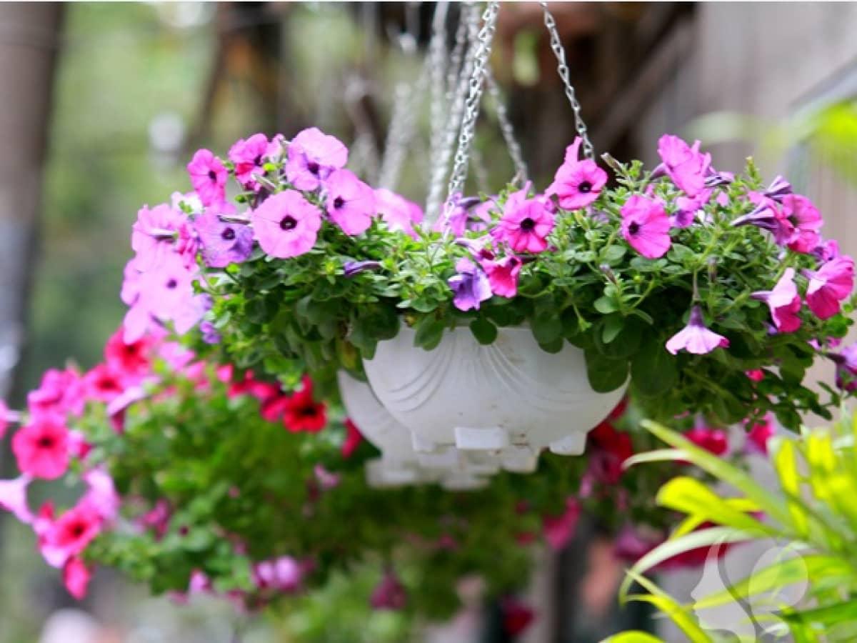 11 loại hoa treo chậu đẹp dễ trồng cho mọi không gian - Trồng Hoa