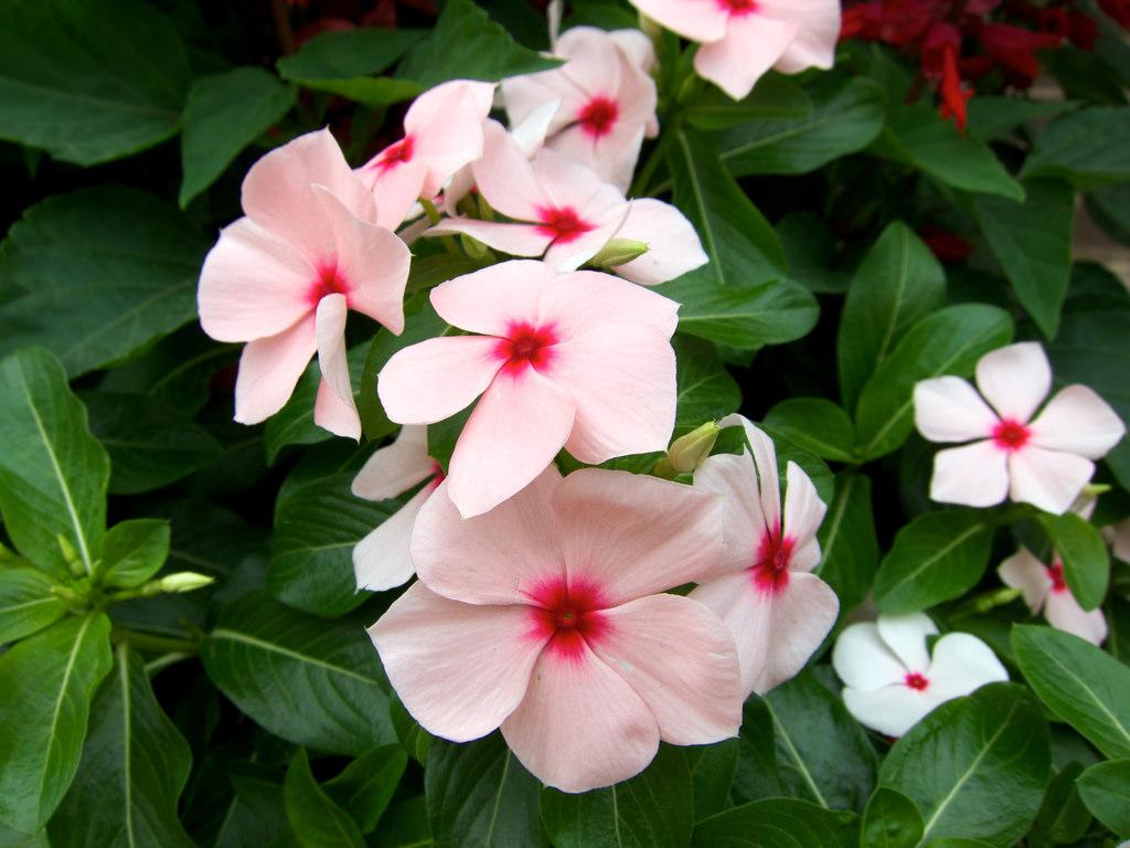 Học cách trồng hoa dừa cạn