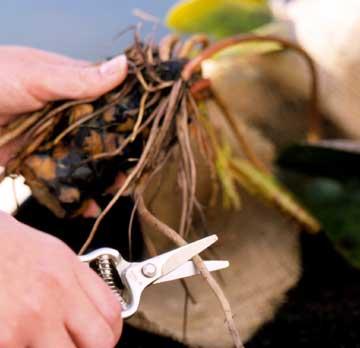Tuyệt chiêu trồng hoa súng trong chậu