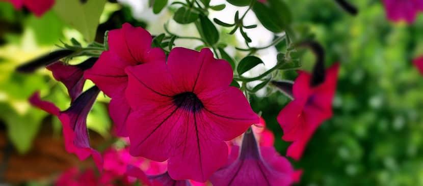 Tìm hiểu về hoa dạ yến thảo