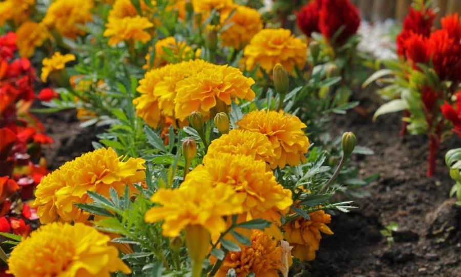 Ý nghĩa của hoa cúc vạn thọ
