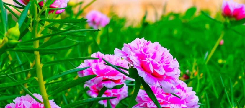 Tìm hiểu về hoa mười giờ