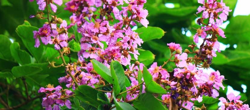 Những bài thơ hay về hoa bằng lăng