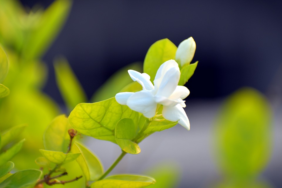 Những bài thơ hay về hoa nhài