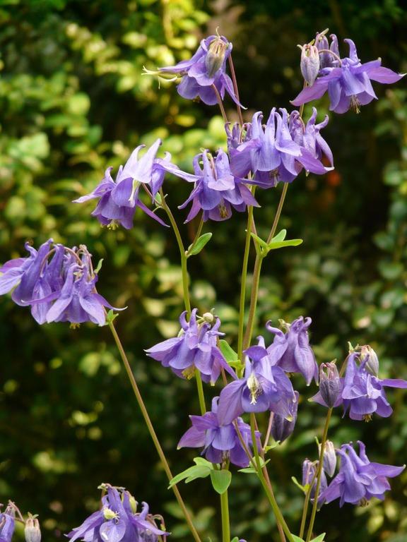 Học cách trồng hoa bồ câu bừng sáng cả một góc vườn
