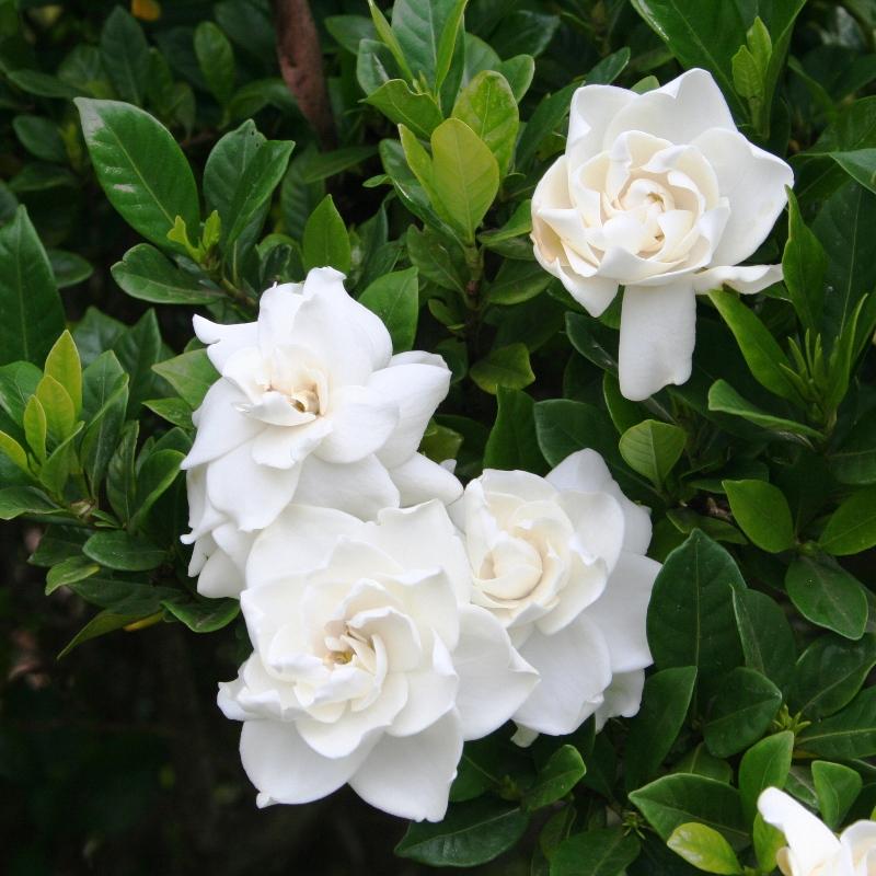 Hướng dẫn cách trồng hoa dành dành