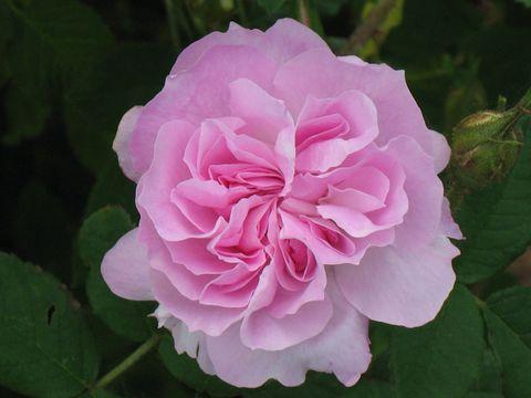 Top 9 loại hoa đẹp ý nghĩa nên tặng bạn gái trong ngày 142