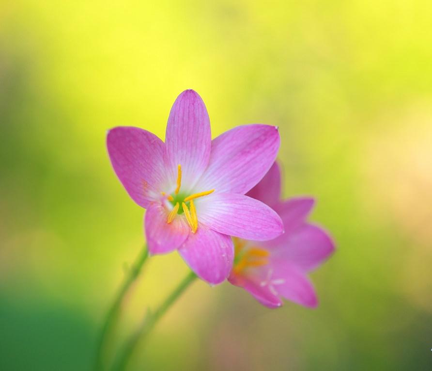 Cách trồng hoa tóc tiên đẹp xuyên thời gian