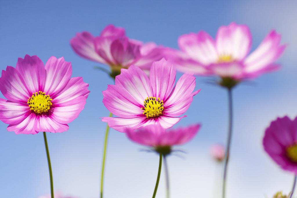 Khéo tay học cách cắm hoa sao nháy