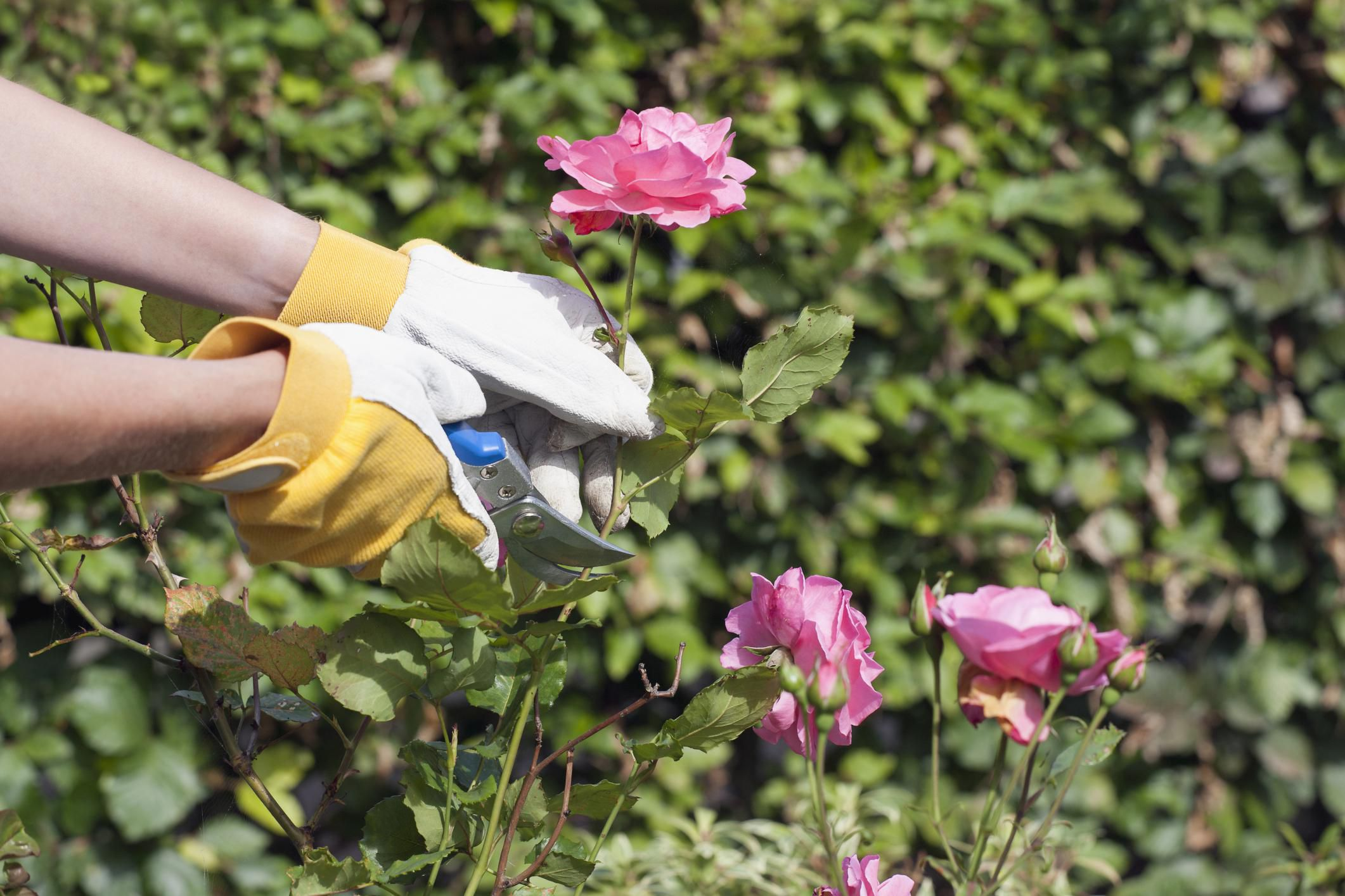 Bí kíp cắt tỉa và chăm sóc hoa hồng nở hoa đón tết về