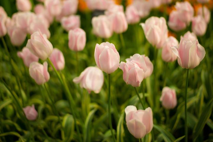 Mẹo hay chăm sóc hoa tulip nở đúng tết