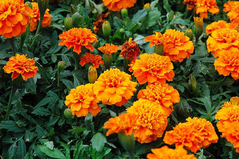 Bí kíp trồng hoa cúc vạn thọ nở hoa đón Tết
