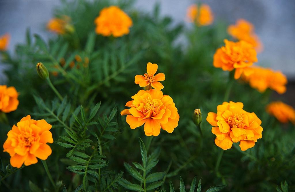 Bí kíp trồng và điều khiển hoa cúc vạn thọ nở hoa đón Tết về