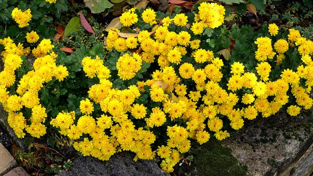 Bắt tay trồng ngay 5 loại hoa rực rỡ sắc xuân đón Tết về