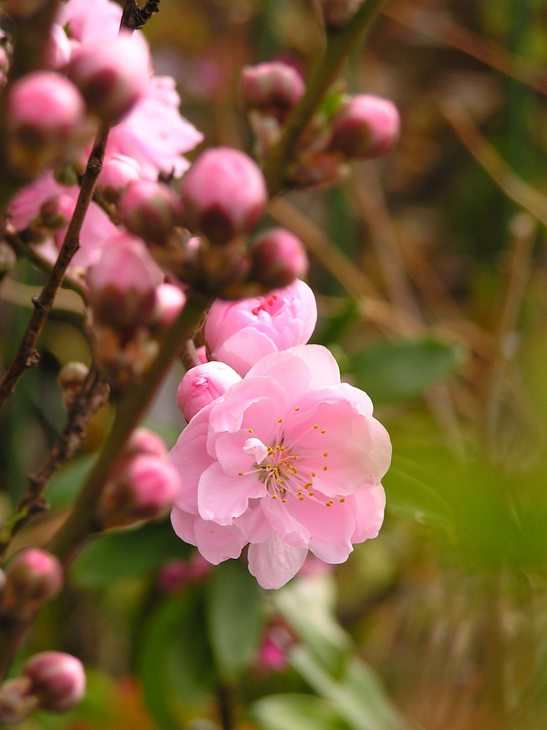 Tuyệt chiêu khiến hoa đào ngày tết nở hoa đón xuân về