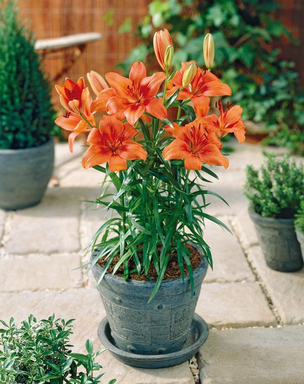 Tuyệt chiêu chăm sóc hoa ly ngày Tết nở đẹp và tươi lâu