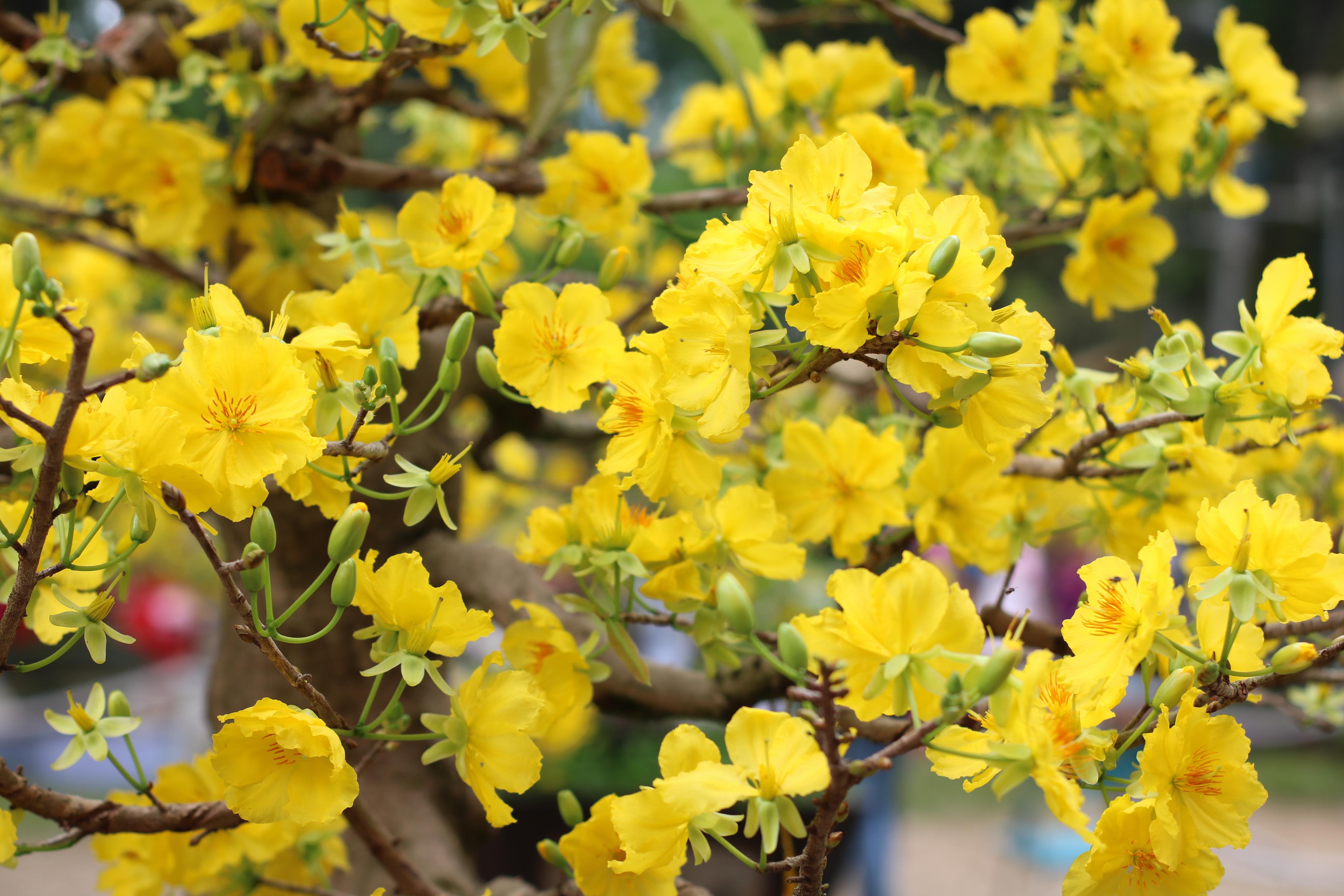 Bí quyết chọn hoa mai vàng ngày tết hợp phong thủy