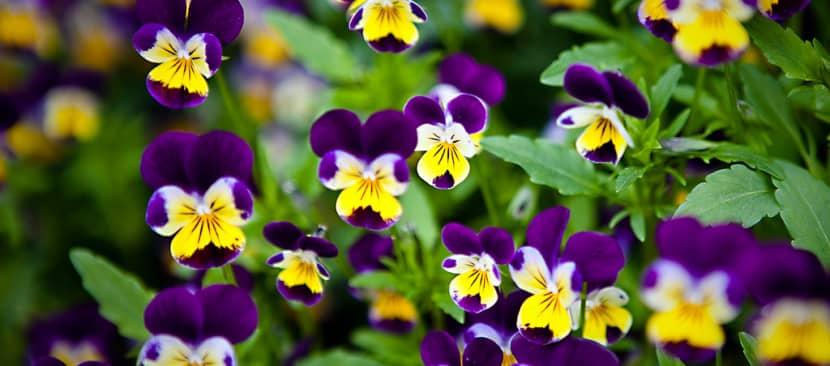 Tìm hiểu về hoa pansy - păng xê