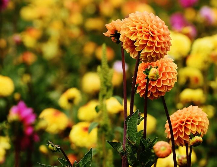 Ý nghĩa hoa thược dược nở đẹp ngày tết