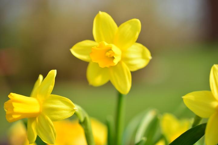 Ý nghĩa hoa thủy tiên ngày tết