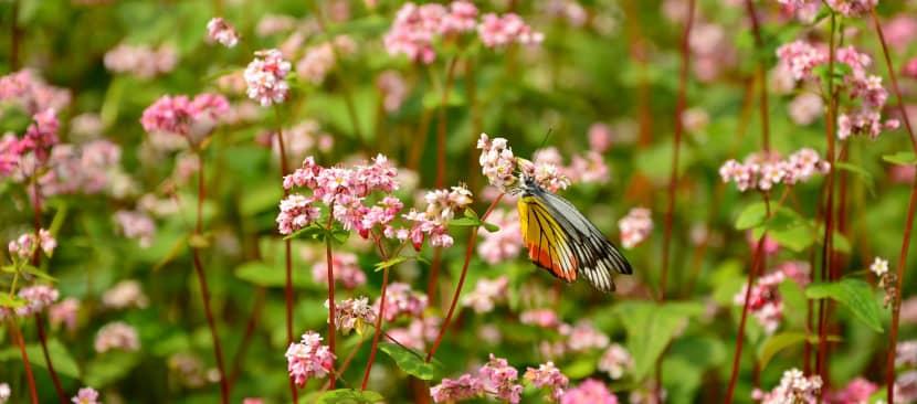 Chùm thơ hay về hoa tam giác mạch