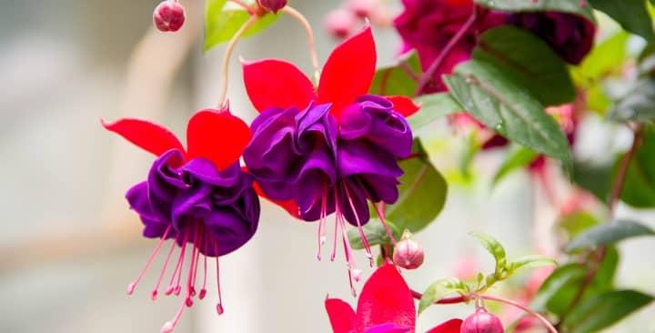 Tuyệt chiêu trồng hoa lồng đèn lung linh trong gió