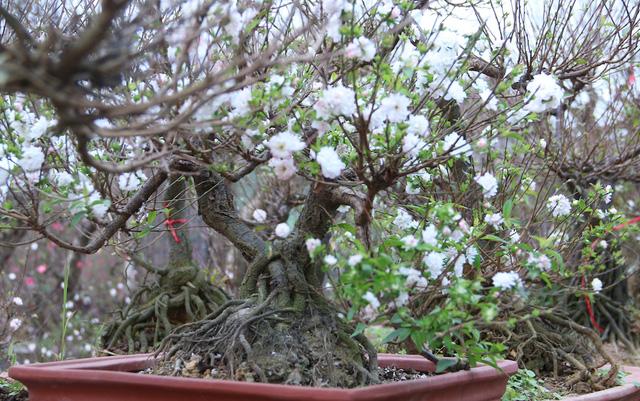 Học cách trồng hoa mai trắng đón Tết về