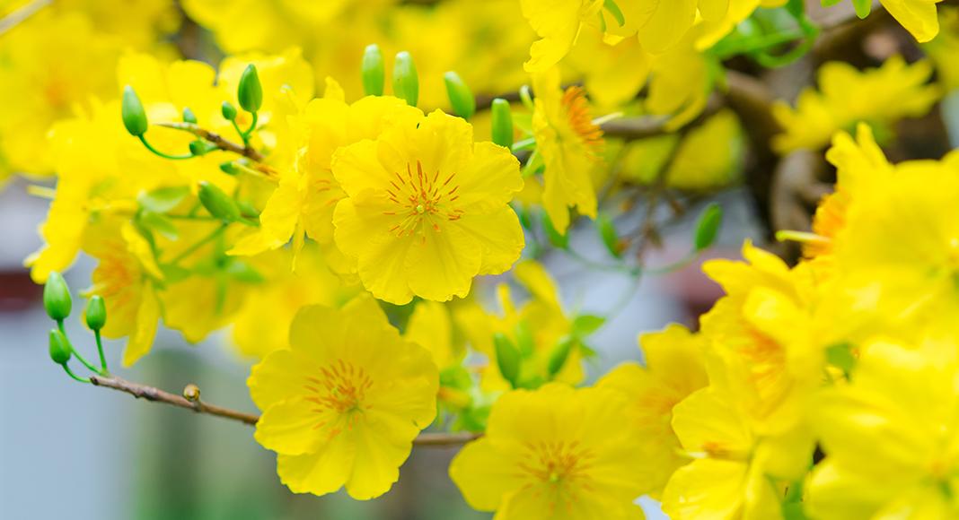 Ý nghĩa hoa mai vàng sum họp ngày tết