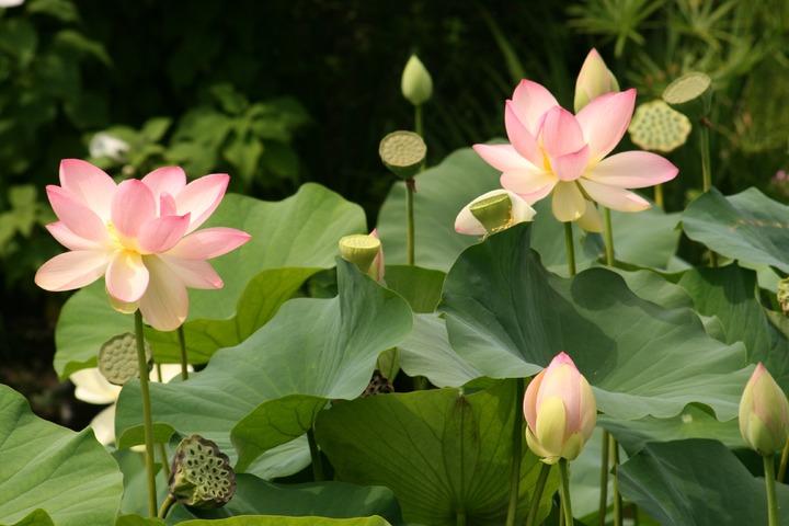 Bật mí mẹo chọn hoa sen và giữ hoa tươi lâu